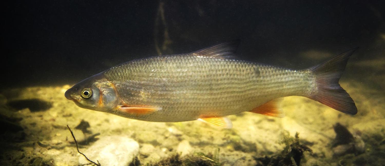 Nase (Fisch)
